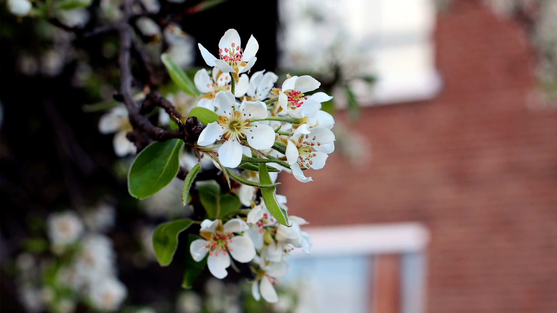 http://St%20Patrick's%20Tower%20Pear%20Tree%20Blossom