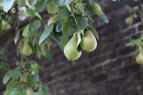 Pear Tree at The Hub